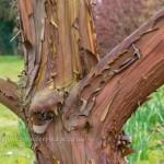 Arbutus unedo bark Strawberry tree