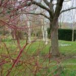 Red stemed dogwood, Cornus