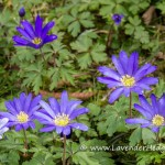 Blue anemones in the grass