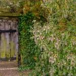 Garrya elliptica, silk tassel bush