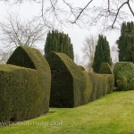 Topiary Yew hedges