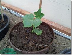 cucumberplant