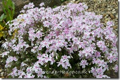White and pink rockery plant, Phlox subulata