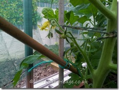 tomatoes (2)