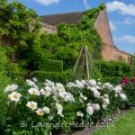 White peonies in walled garden