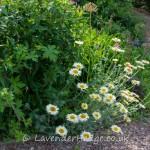 Margerites in flower border