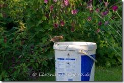 Curious baby robin