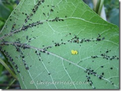Ladybird eggs and larvae on runner bean leaf
