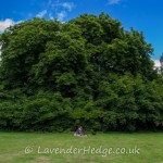 Large Chestnut trees, Croft Castle