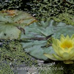 Yellow lily in Walled Garden, Croft Castle
