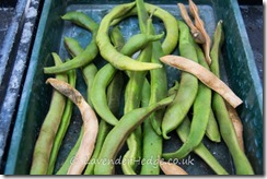 Runner beans drying to save seed