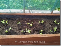 Lettuce planted in greenhouse for autumn