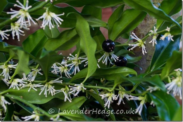 The flowers and fruit of Sarococca confusa