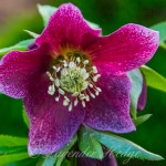 Winter flowering Helleborus