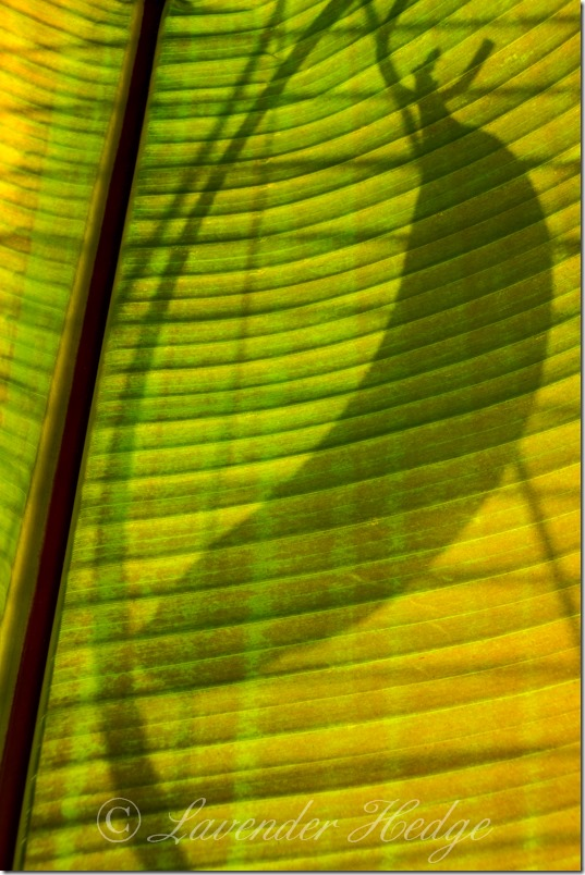 A banana silbouetted behind banana leaf