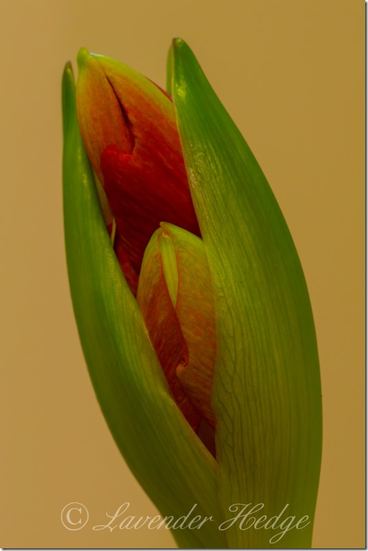 Close up of red Amaryllis bud