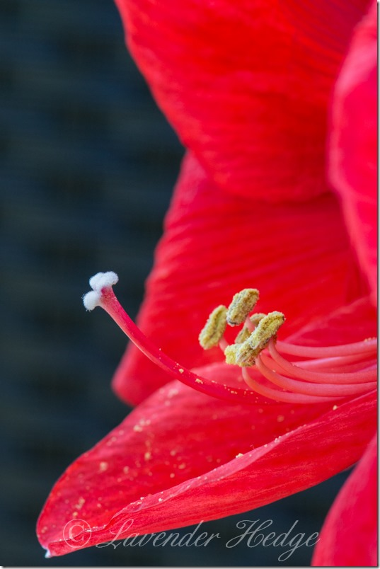 Macro of Hippeastrum Red Lion