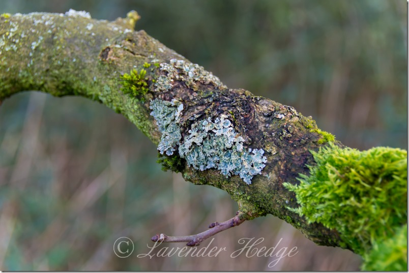 Moss and lichen covered branch
