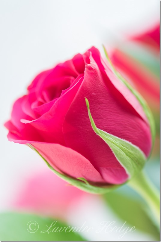 Close up of Pink Rose Bud