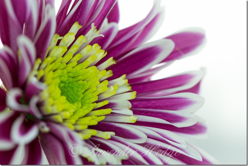 Macro of purple striped Chrysanthemum flower