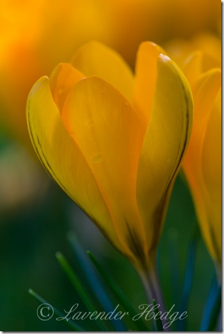 Yellow crocuses close up