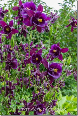 Purple Aquilegas