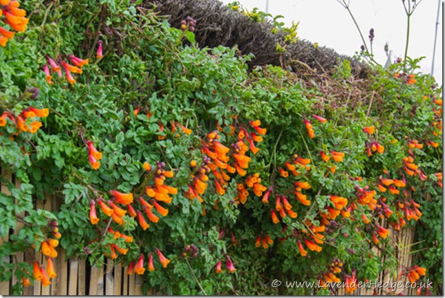 Chilean glory vine in flower