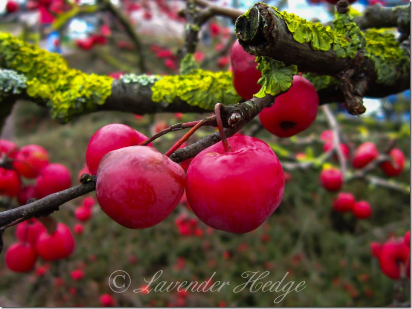 Red crab apples on lichen covered tree