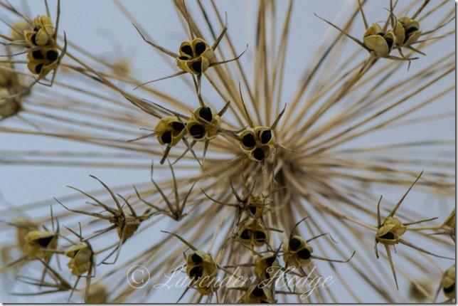 Allium giganteum seed head