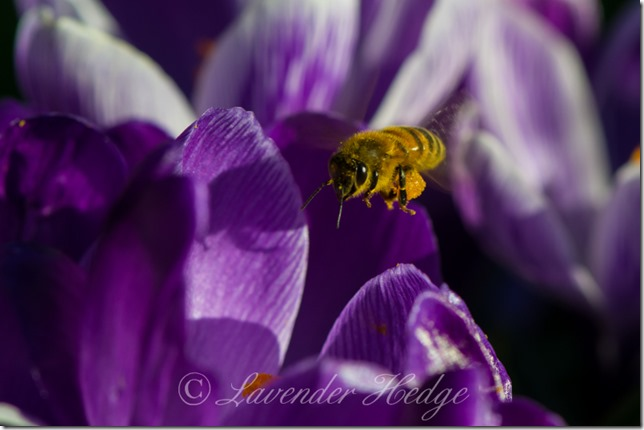 Bee approaching purple crocus with pollen