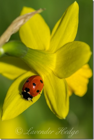 7 spot Ladybird on daffodil