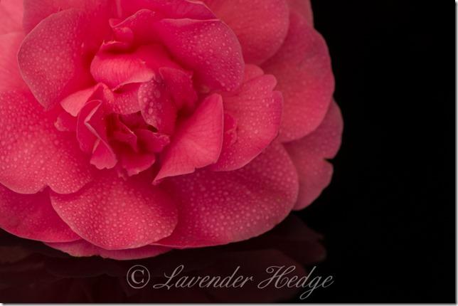 Camellia x willamsii Debbie