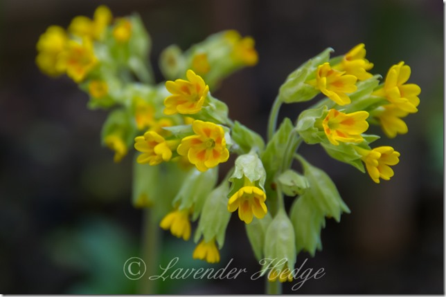 Yellow flower: Cowslips, Primula veris
