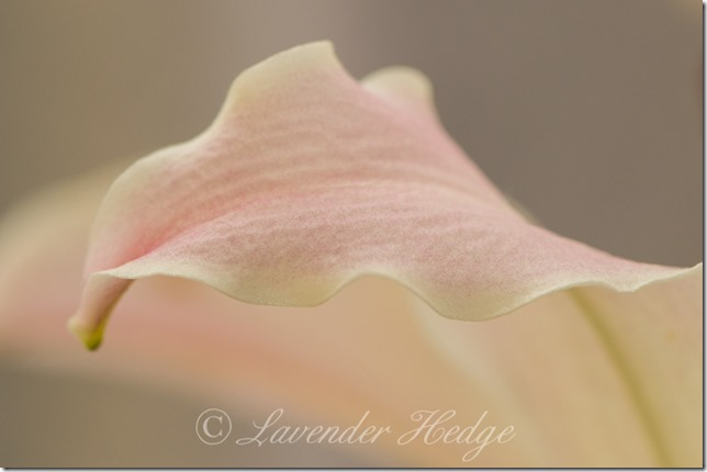 Macro of lily petal