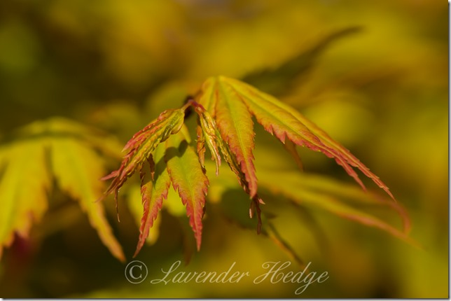 New leaves on golden Acer tree