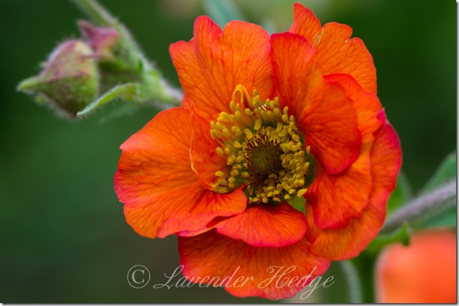 Geum 'Mrs Bradshaw' flower