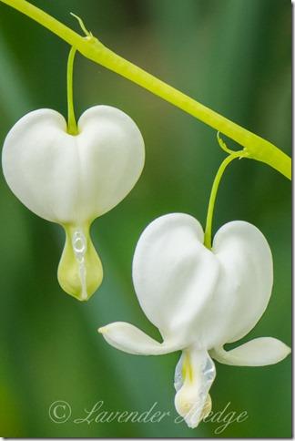 White Dicentra - Lamprocapnos spectabilis