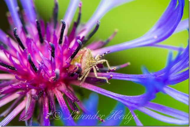 Shield Bug in Centaurea cyanus