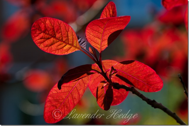 Cotinus coggyria Royal Purple