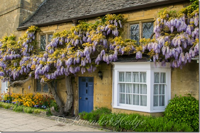 Wisteria in Broadway, Worcestershire