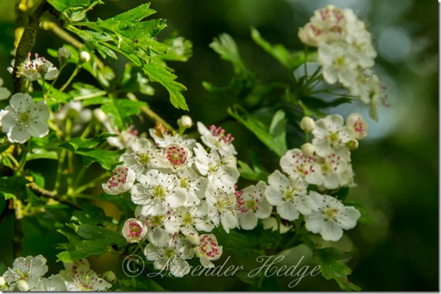 Crataegus monogyna or Hawthorn blossom