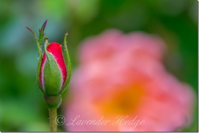 Orange Miniature Rose Bud