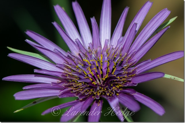 Salsify wildflower