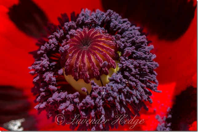 Papaver orientale 'Ladybird'