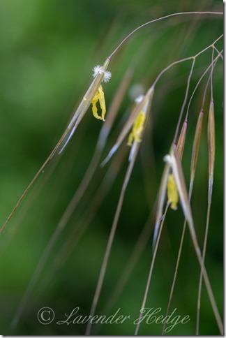 Ornamental giant grass: Stipa gigantea