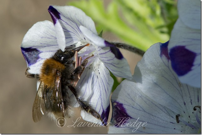 Bumble bee on Nemophila maculata Five Spot