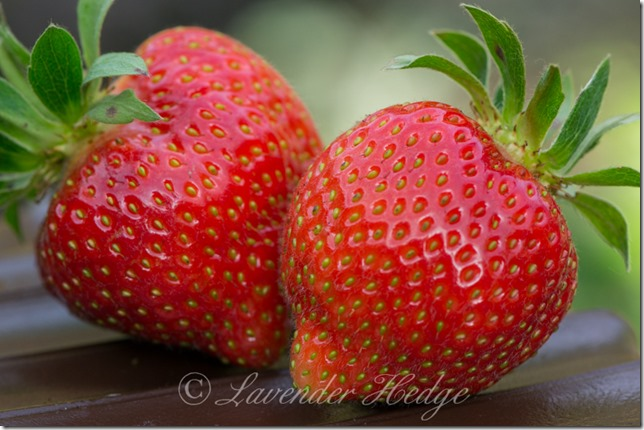 Hapil Strawberries