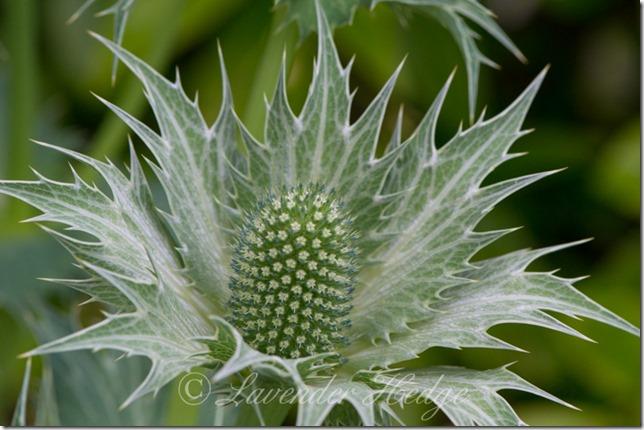 Eryngium giganteum</p><br /><br /> <p>Miss Willmott's ghost