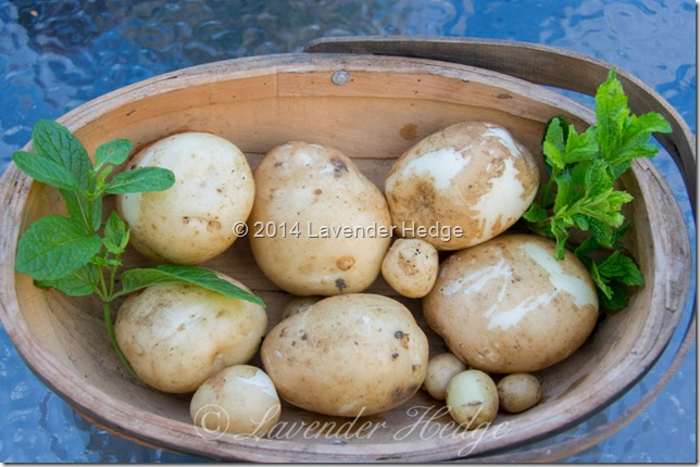Home grown new potatoes