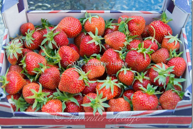 Home grown Hapil strawberries